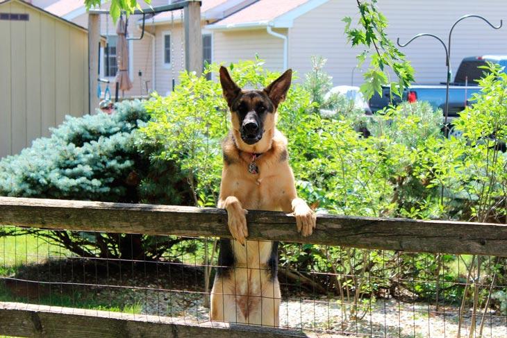 Породы собак для охраны дома и детей